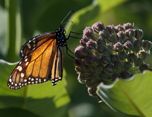 Trump Order Could Weaken Protections for Monarch Butterflies